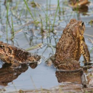 2 toads in water