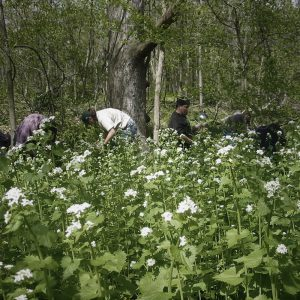 Students helping to pull garlic mustard in a forest