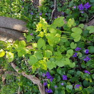 garlic mustard growing next to some foliage