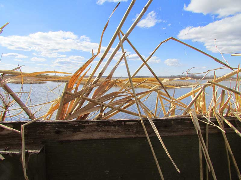 looking out across the marsh from behind reeds