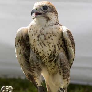 A juvenile red tailed hawk