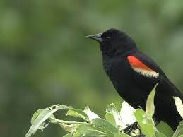 Red-winged Blackbird Identification, All About Birds, Cornell Lab ...
