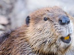 A 28-million-year-old beaver fossil was found in Oregon - Business ...