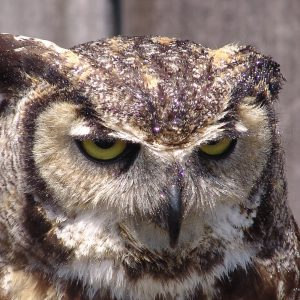 Great Horned Owl close up photo