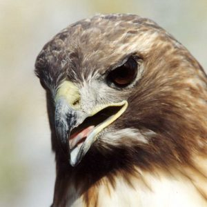 A close up of a red tailed hawk